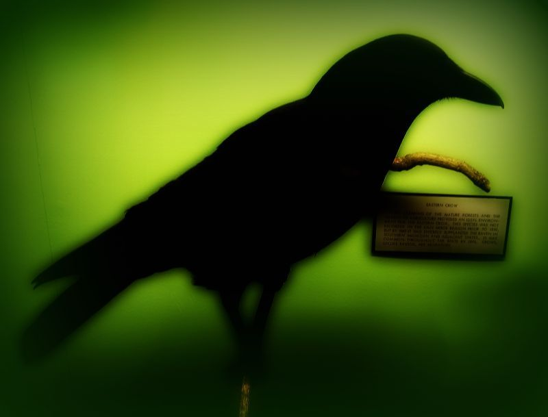 The_eastern_crow, crow, bird, green, picnik, museum, marcie, vargas
