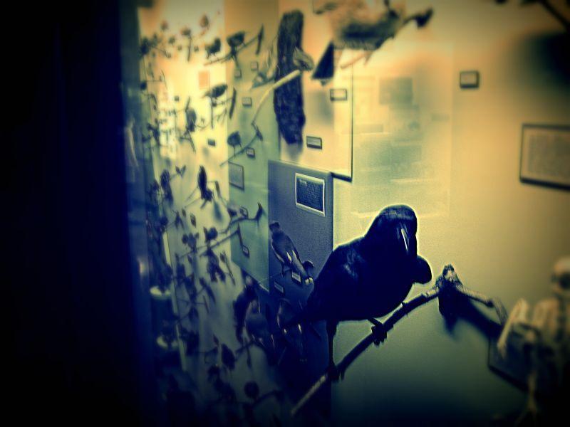 Museum_crow